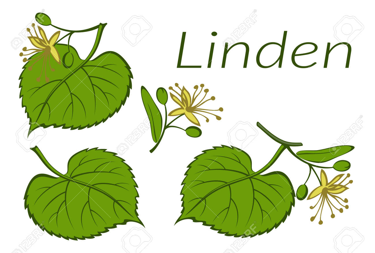 Set of Plants, Linden Tree Green Leaves and Yellow Flowers, Isolated on White. Vector - 139805169