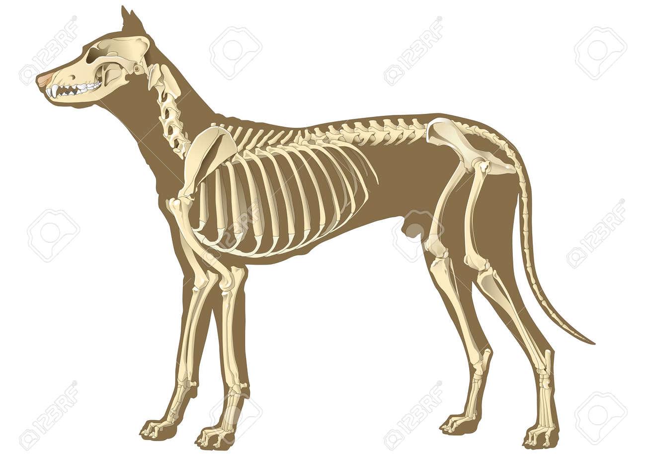 Esqueleto De La Sección De Perro Con Los Huesos De Rayos X Fotos ...