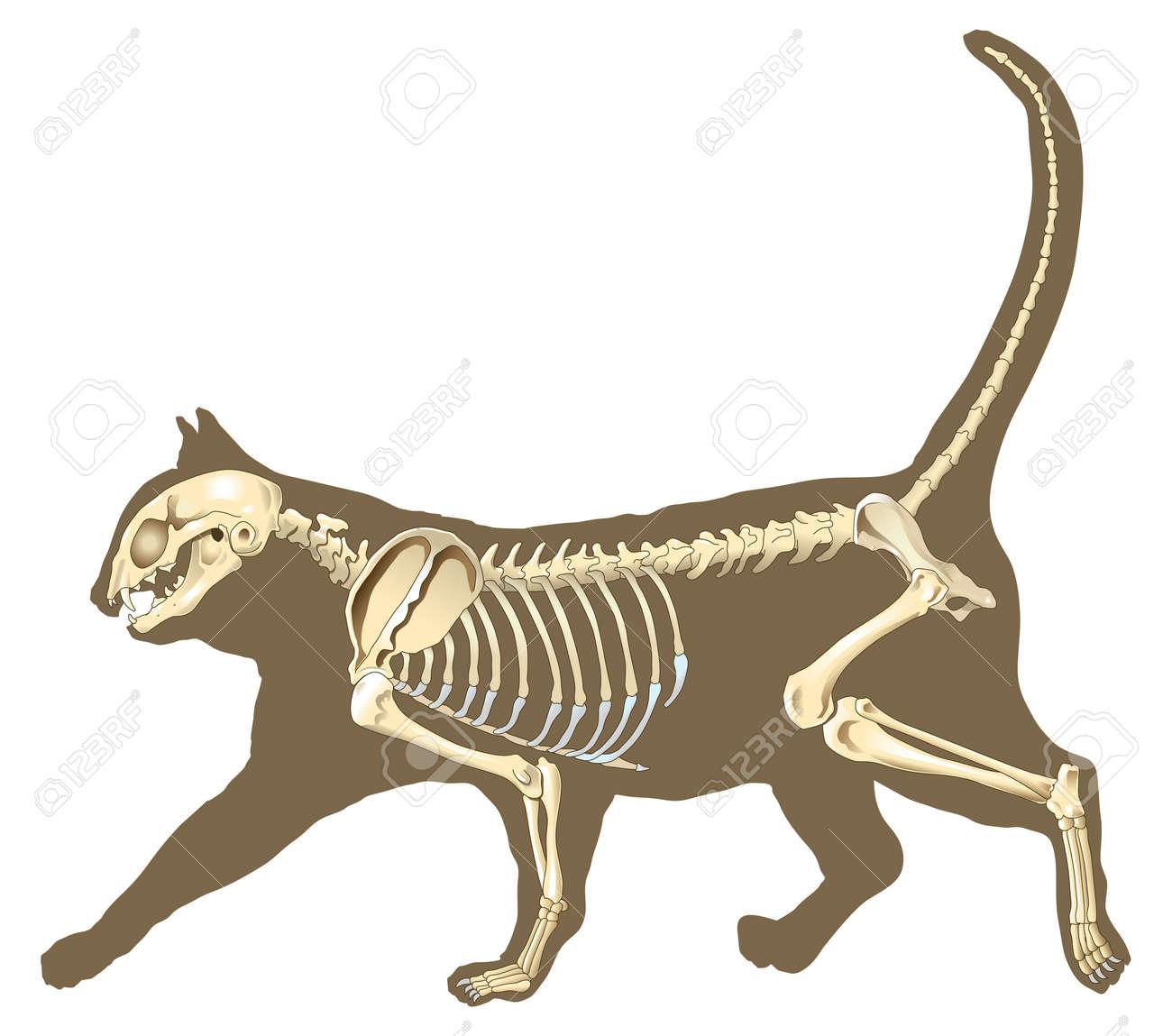 Esqueleto De Huesos Sección Gato Con Rayos X Fotos, Retratos ...