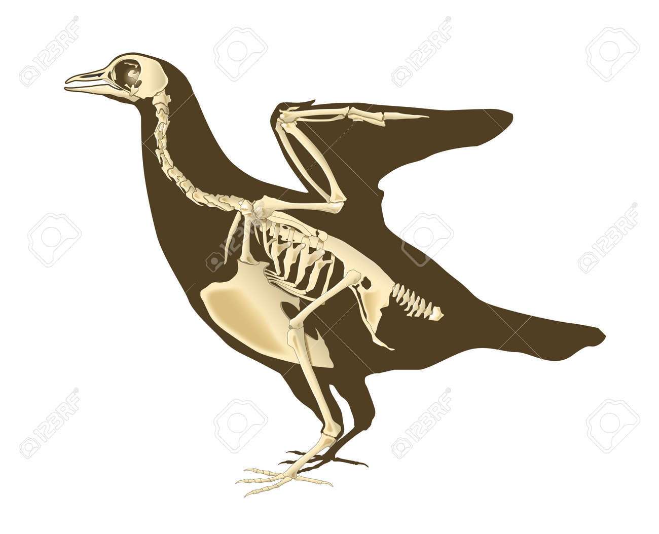 skeleton of bird section with bones radiography Stock Photo - 16304224