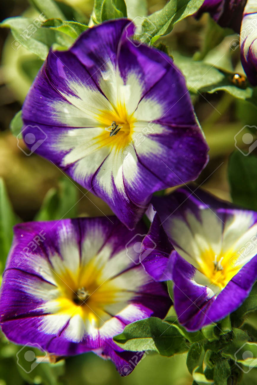 Purple with white and yellow morning glory ipomoea stock photo purple with white and yellow morning glory ipomoea stock photo 73125804 mightylinksfo
