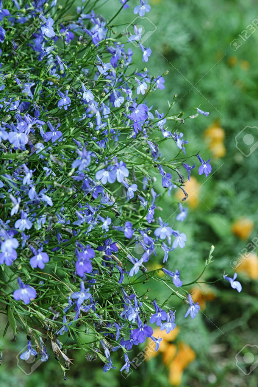 Beautiful Blue Flowers Of Climbing Lobelia Plant Stock Photo