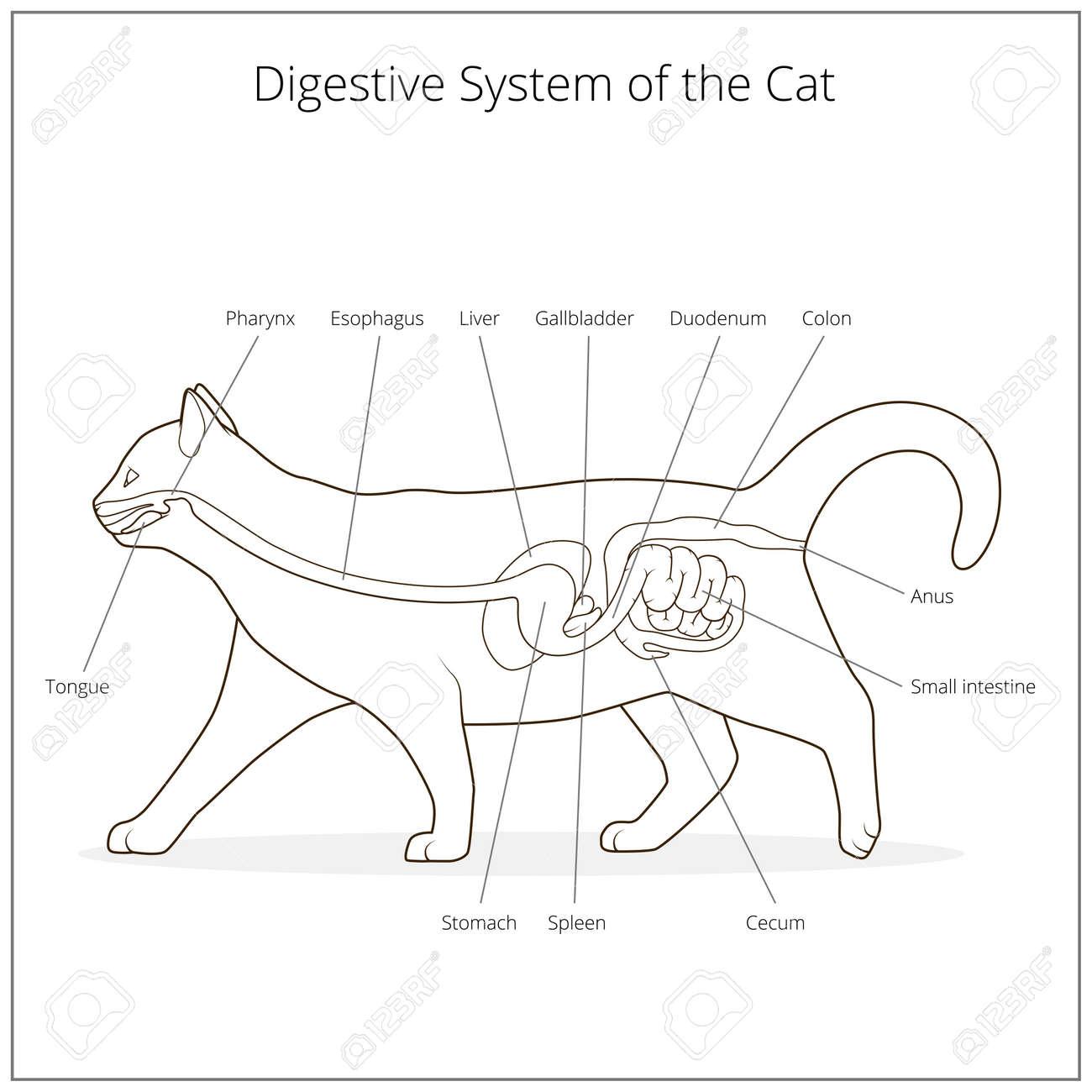 Ungewöhnlich Katze Verdauungssystem Anatomie Fotos - Anatomie Ideen ...
