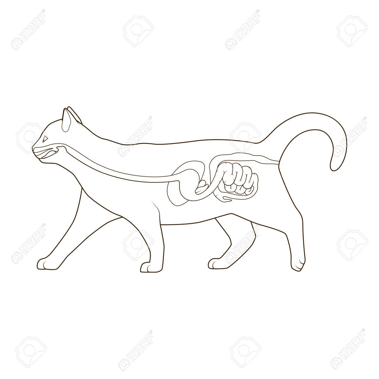 El Sistema Digestivo Del Gato Veterinaria Médica Ilustración ...