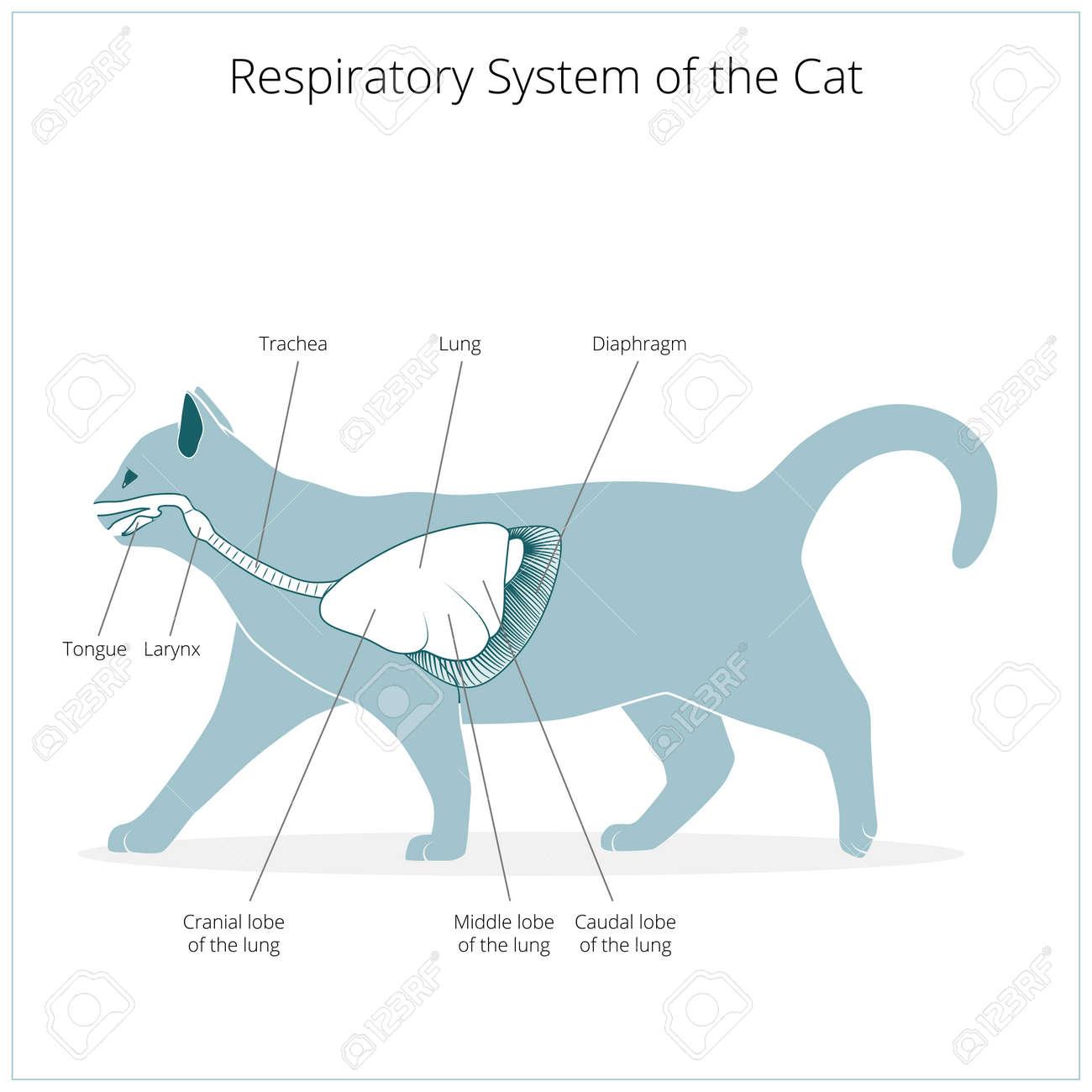 Sistema Respiratorio Del Gato Veterinaria Médica Ilustración ...