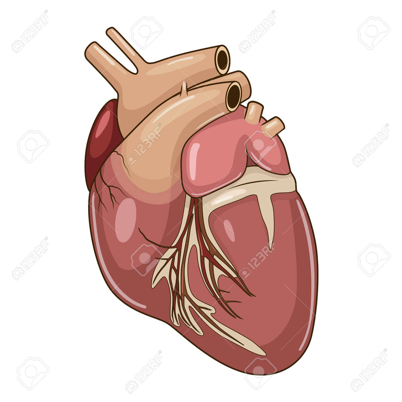 Heart Of A Dog Medical Veterinary Science Educational Vector ...