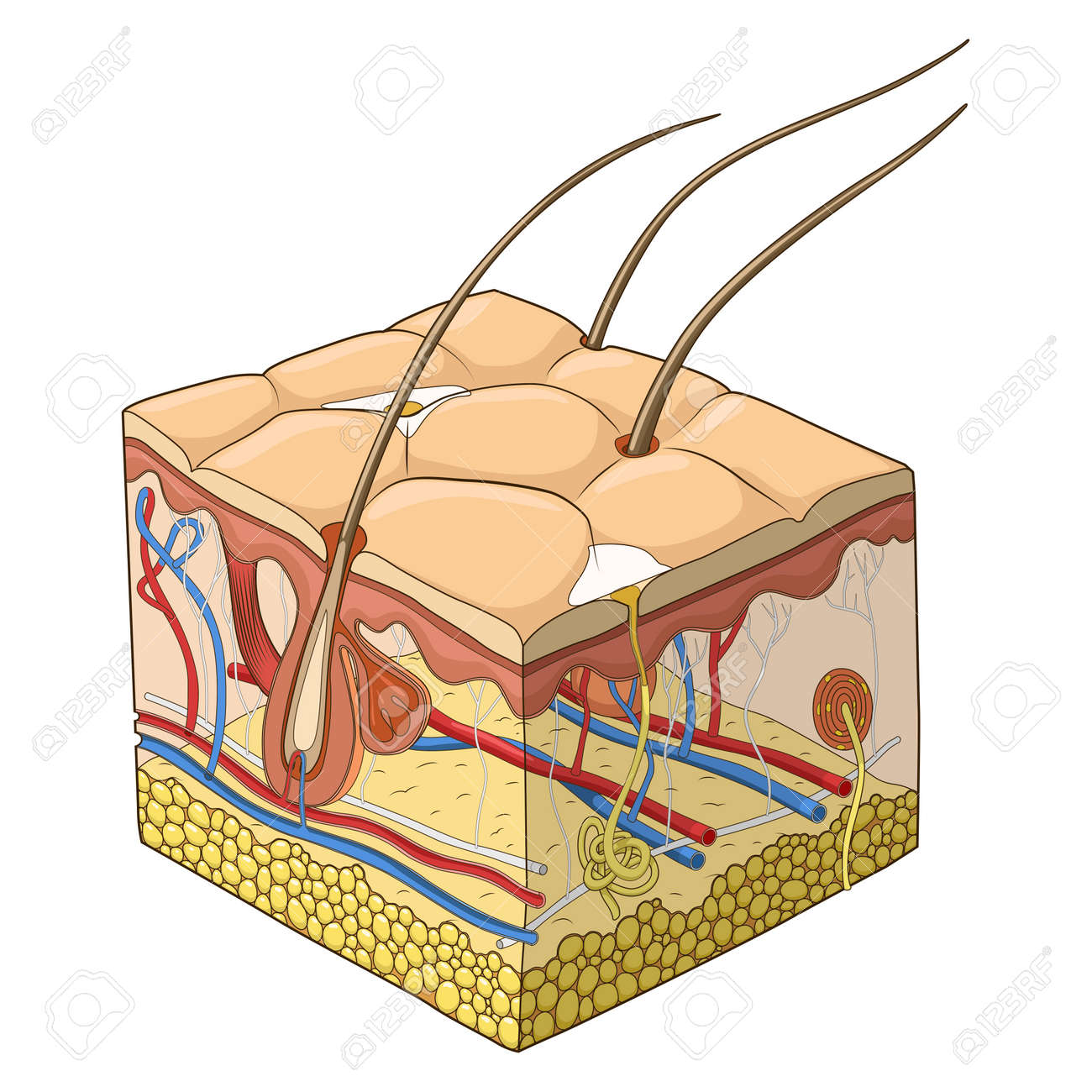 Slice of skin structure medical science educational vector illustration - 46796585