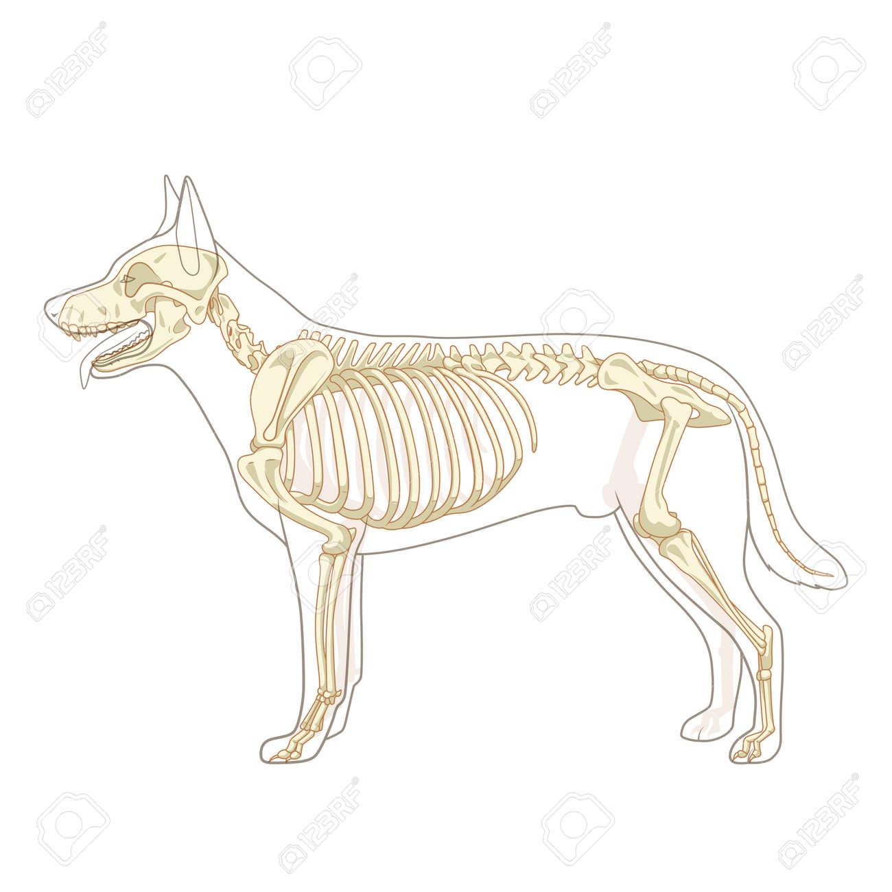 Hundeskelett Veterinär Vektor Illustration, Hund Osteologie ...