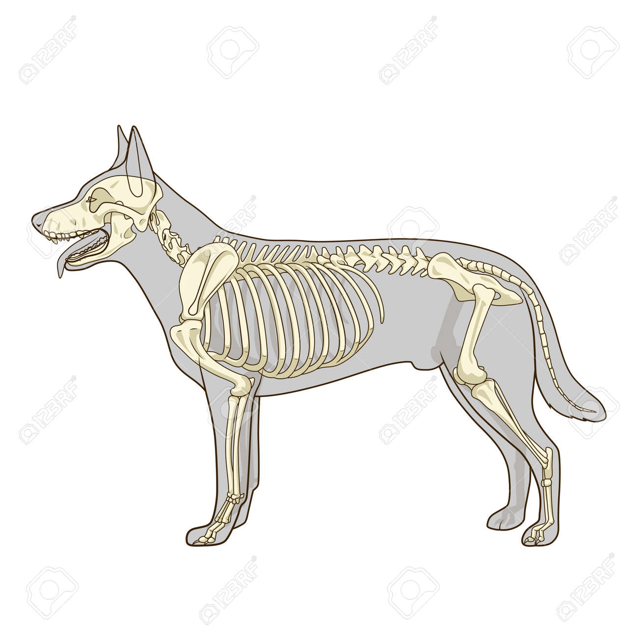 Dog Skeleton Veterinary Vector Illustration, Dog Osteology, Bones ...