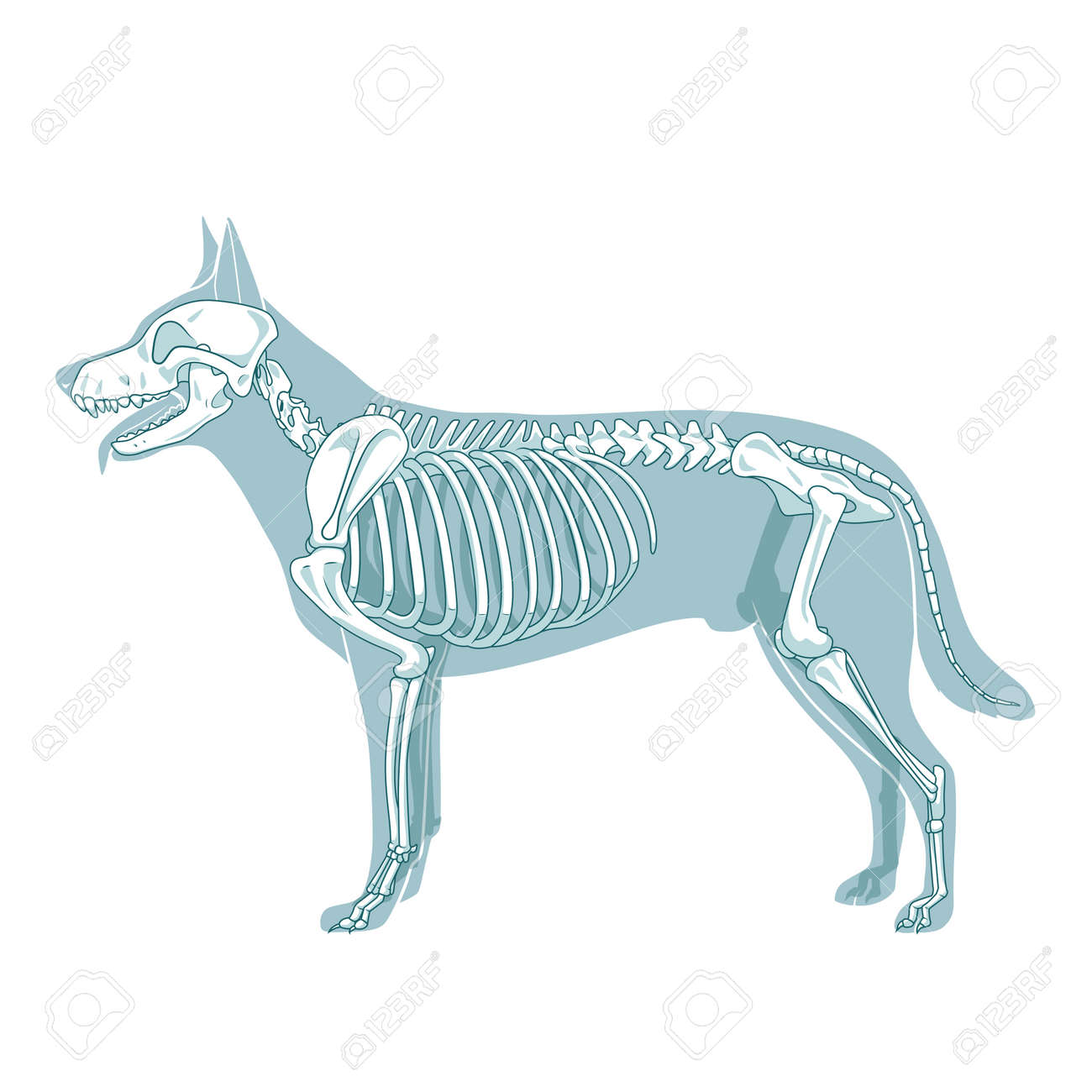Dog Anatomy Stock Photos. Royalty Free Dog Anatomy Images