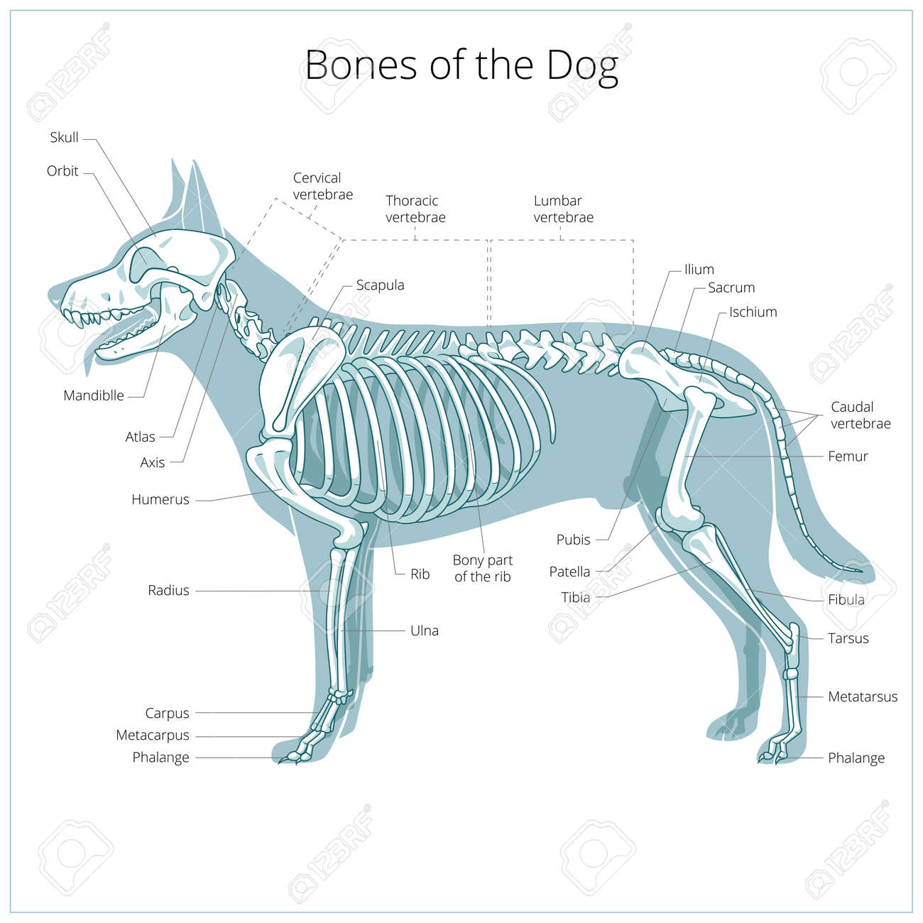 Animal Anatomy Stock Photos. Royalty Free Animal Anatomy Images