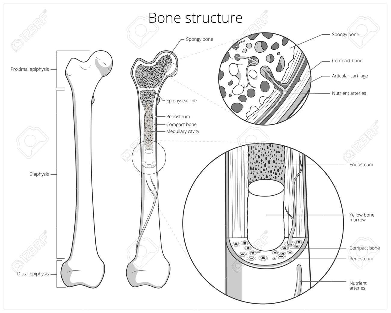 La Estructura ósea Médica Ilustración Educativa Ciencia Vectorial ...