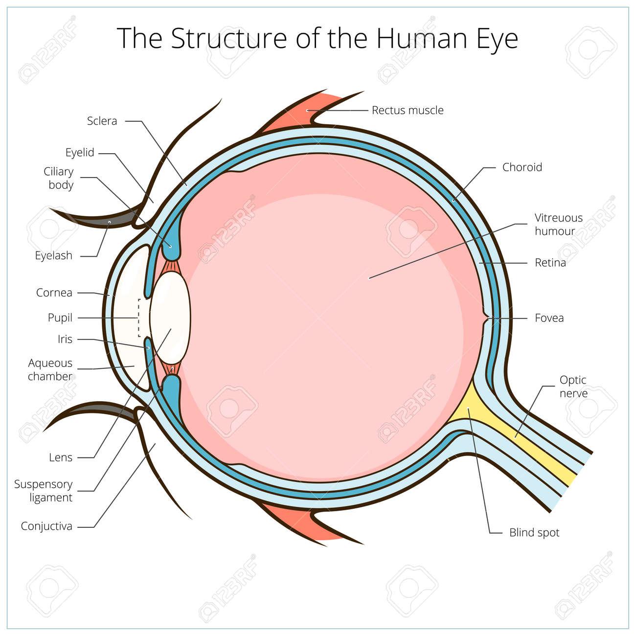 Ojo Humano Esquema De Estructura Ilustración Vectorial Médica ...