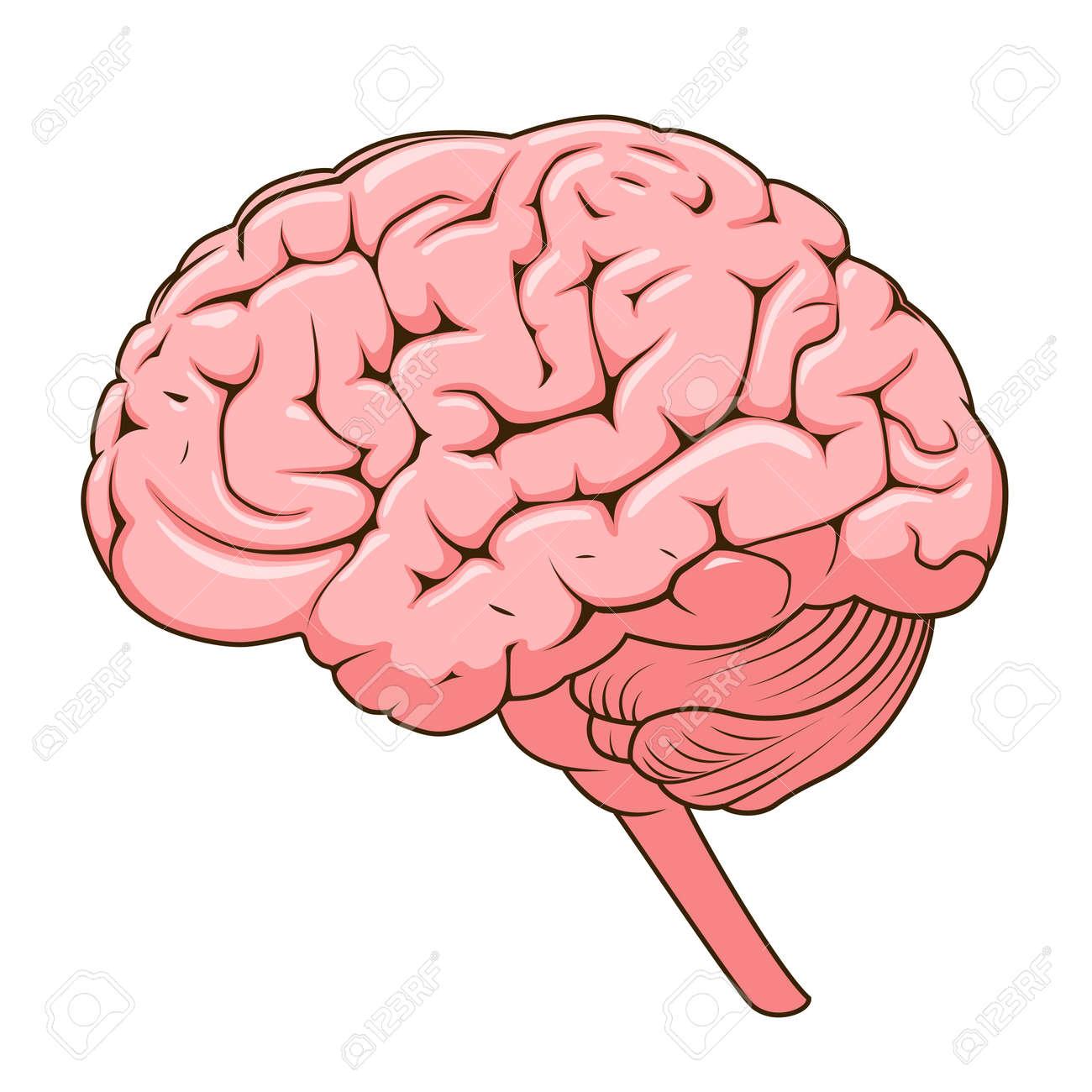 Magnífico Vista Sagital Del Cerebro Humano Marcado Patrón - Imágenes ...