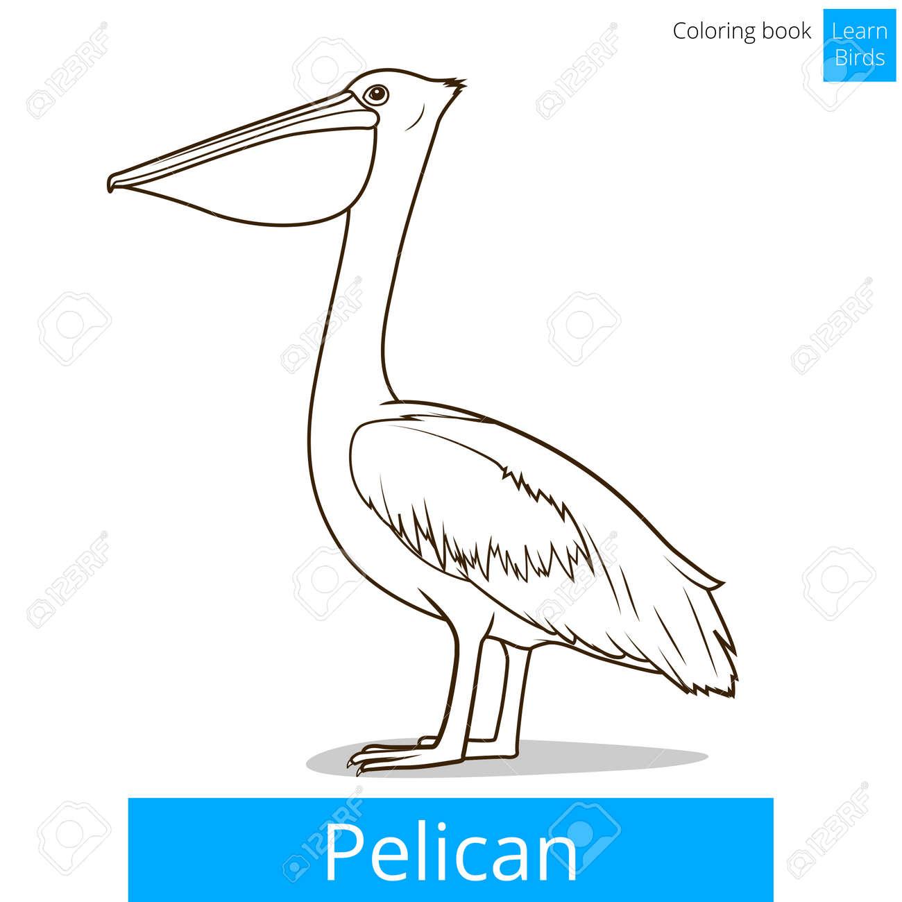 Pelican Bird Learn Birds Educational Game Coloring Book Vector ...