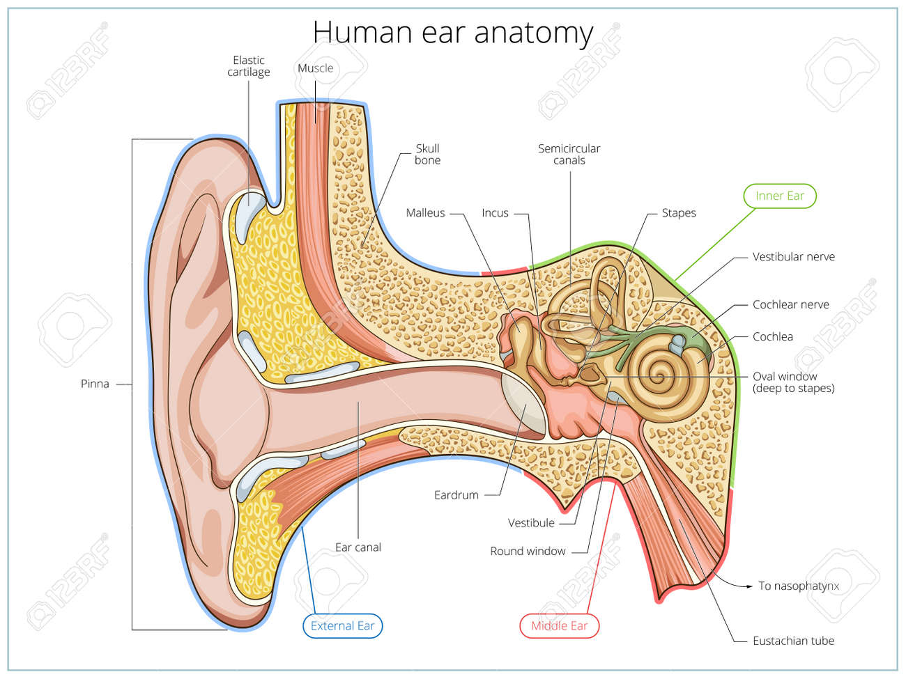 Human Ear Structure Medical Educational Science Vector Illustration ...
