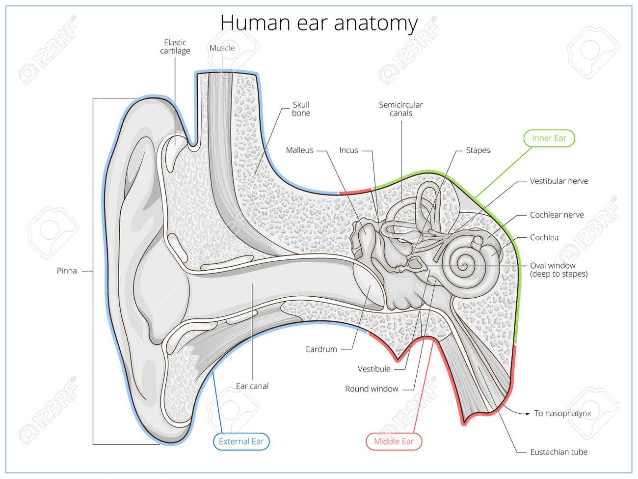 Estructura Del Oído Humano Ilustración Médica Educativa Ciencia Del Vector Anatomía Del Oído