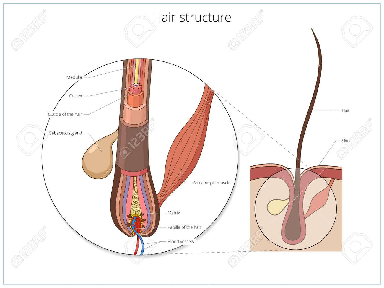 Famoso Anatomía De Hebra De Cabello Ideas - Anatomía de Las ...