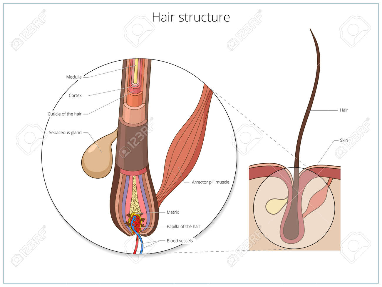 Hair Structure Medical Educational Science Vector Illustration