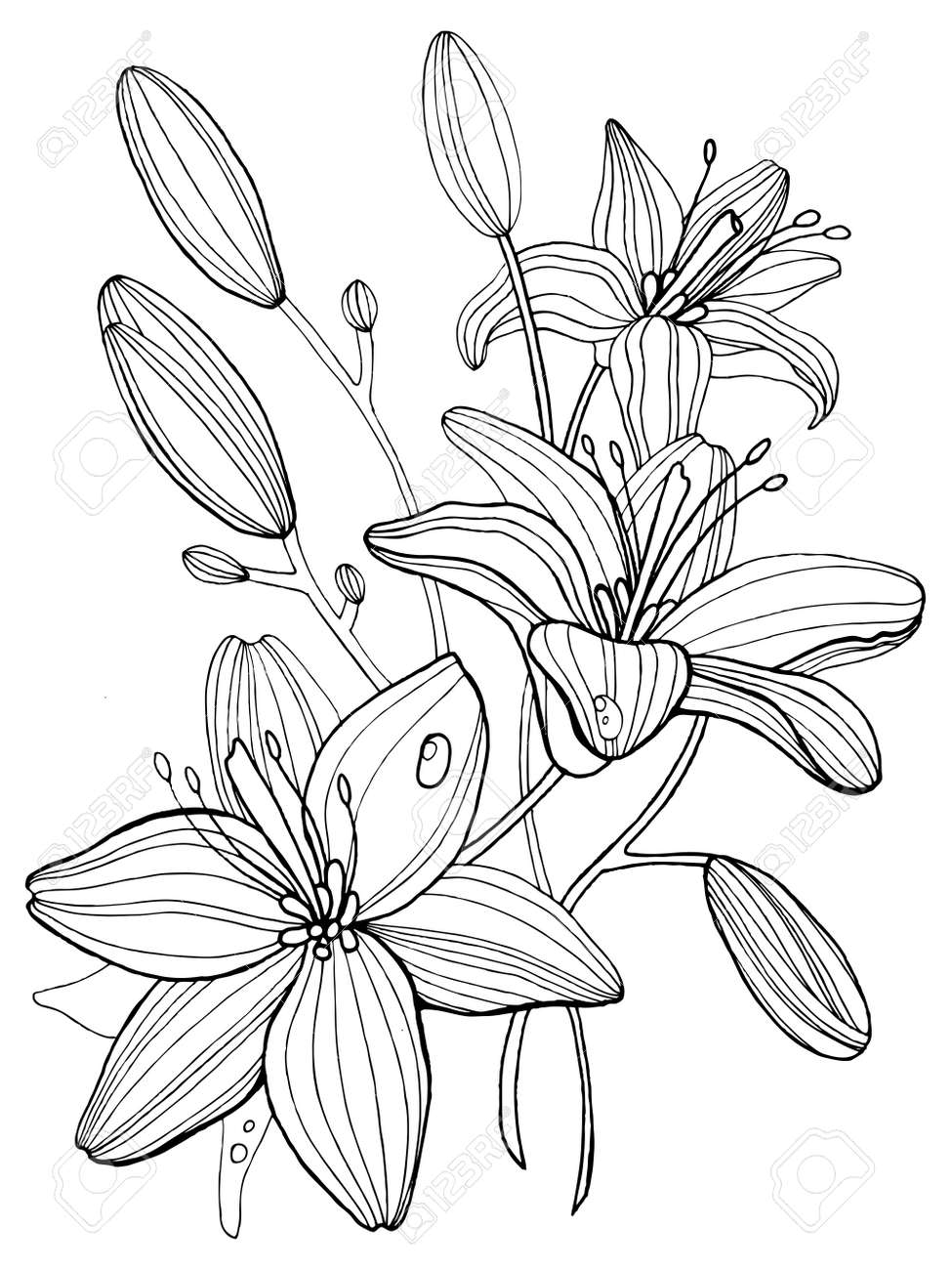 Lily Ilustración De Libros De Vectores Flores Para Colorear