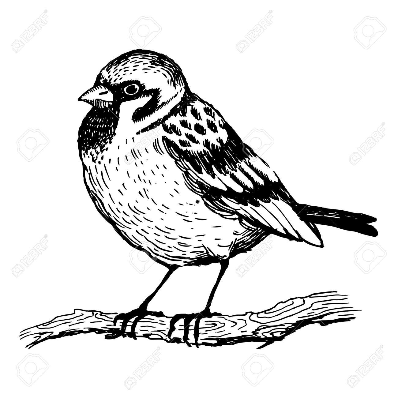Sparrow bird engraving vector illustration. Scratch board style imitation. Hand drawn image. - 86300460