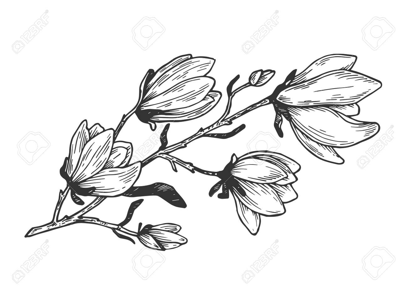 Magnolia branch engraving vector illustration. Scratch board style imitation. Hand drawn image. - 105267447
