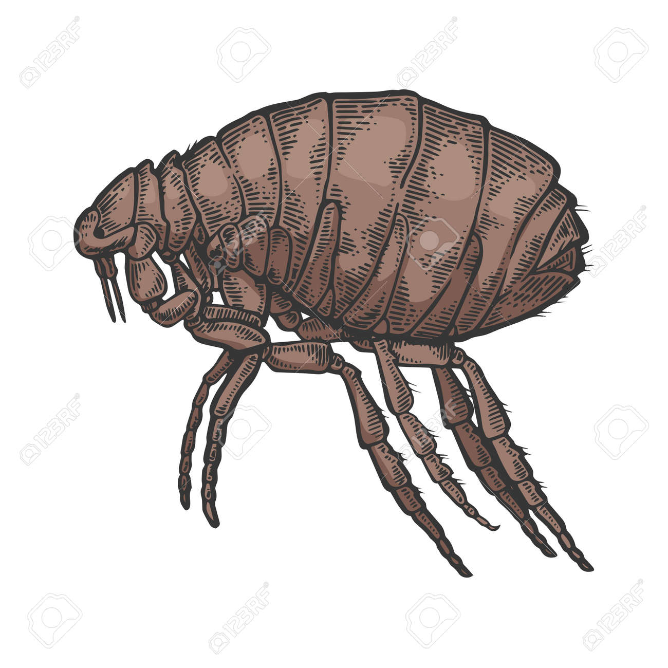 Flea insect parasite color sketch engraving vector illustration. Scratch board style imitation. Black and white hand drawn image. - 128502573