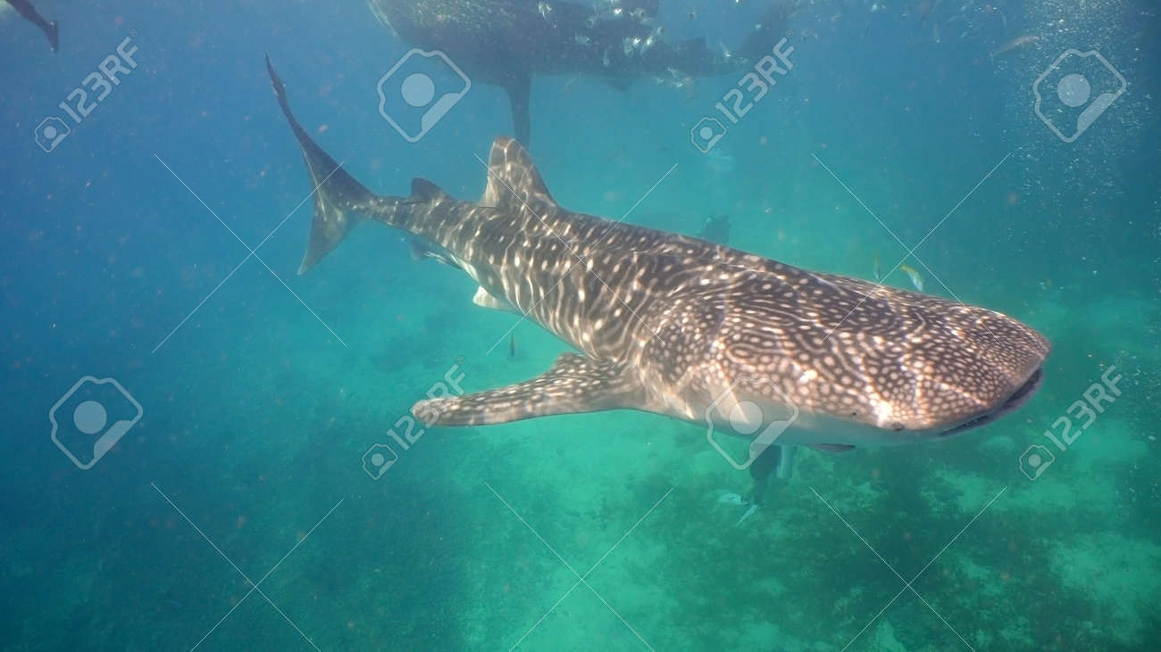 Whale Shark swimming in the clear blue water. Rhincodon typus. Whale shark underwater. Philippines, Oslob.. Wonderful and beautiful underwater world. - 115254429