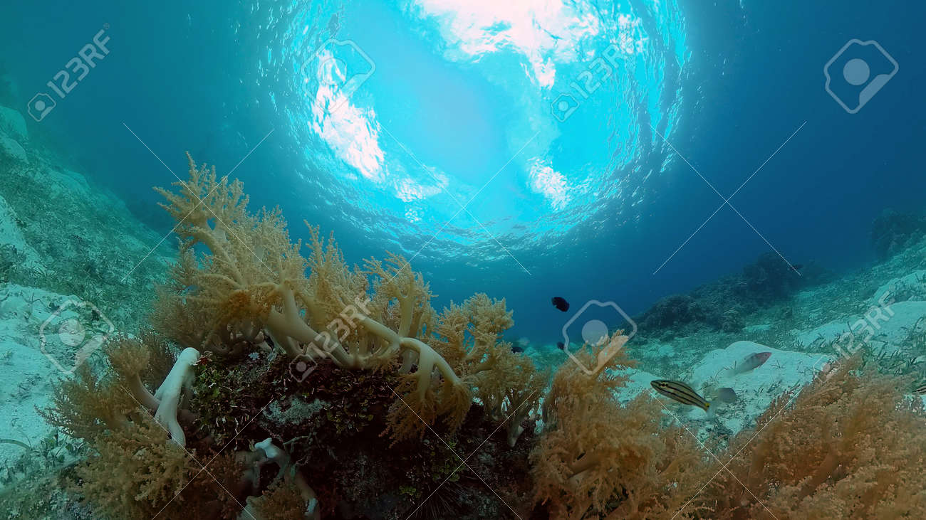 Sealife, Diving near a coral reef. Beautiful colorful tropical fish on the lively coral reefs underwater. Philippines. - 168138009