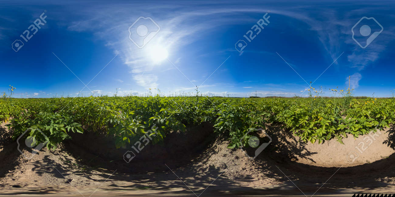 Potato plants in white bloom. Green flowering potato bushes planted in rows on a farm field. Potato growing, crop. agriculture. summer sunny day. Virtual Reality 360. - 168992205