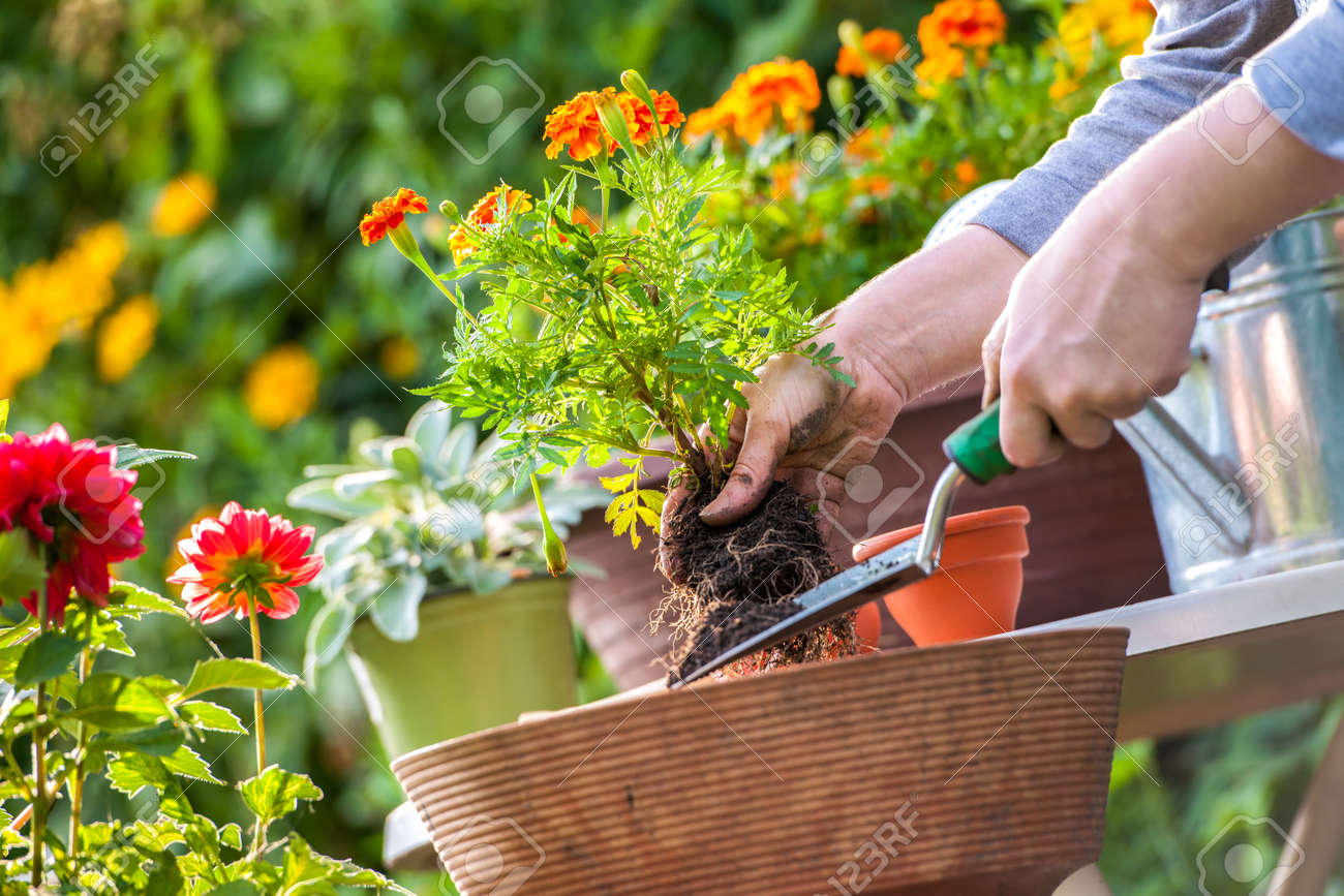 Nice Gardeners Hand Planting Flowers In Pot With Dirt Or Soil Stock Photo    21845829