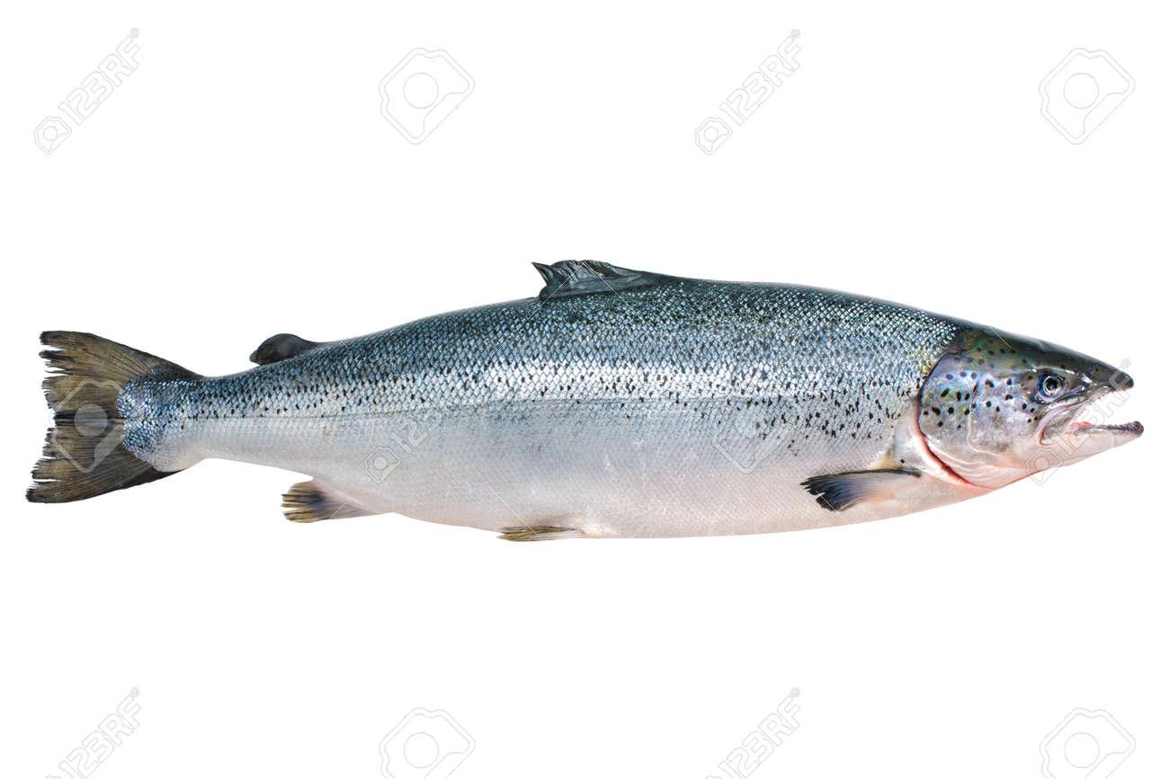 Salmo salar. Atlantic salmon on the white background Stock Photo - 22215664