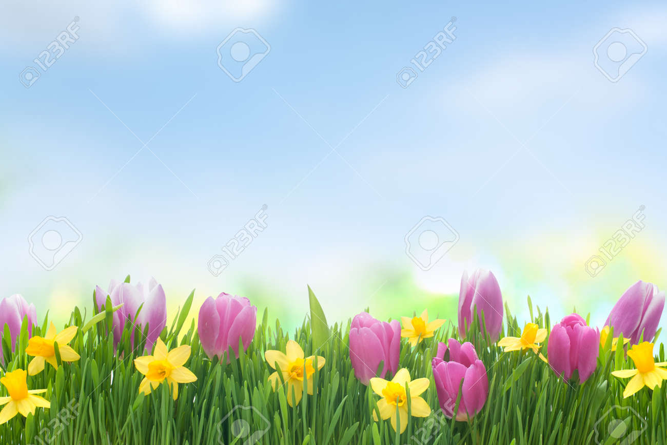 green grass blue sky flowers heart shaped spring narcissus and tulips flowers in green grass on blue sky background stock photo 26782215 narcissus and tulips flowers in green grass on blue sky