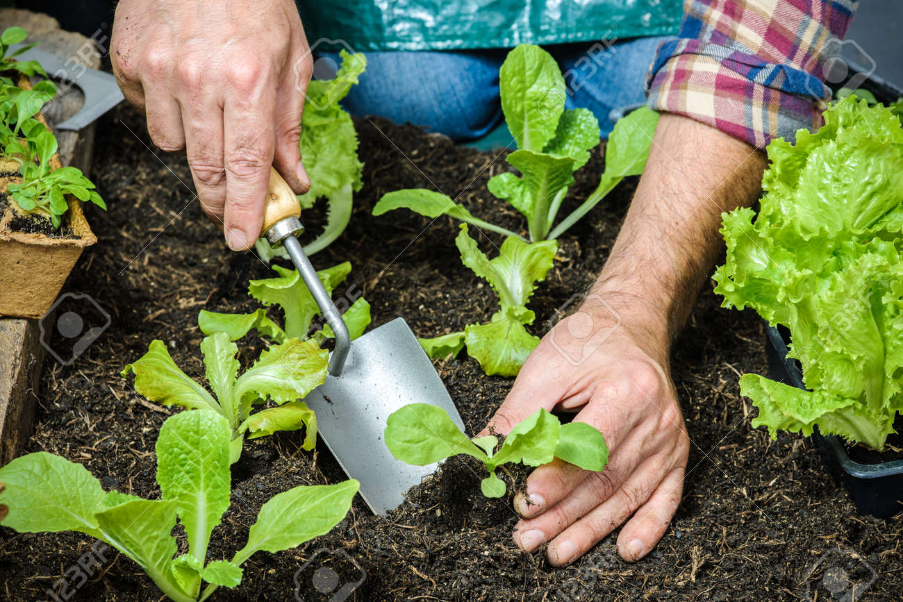 Farmer Planting Young Seedlings Of Lettuce Salad In The Vegetable Garden Stock Photo 31600642