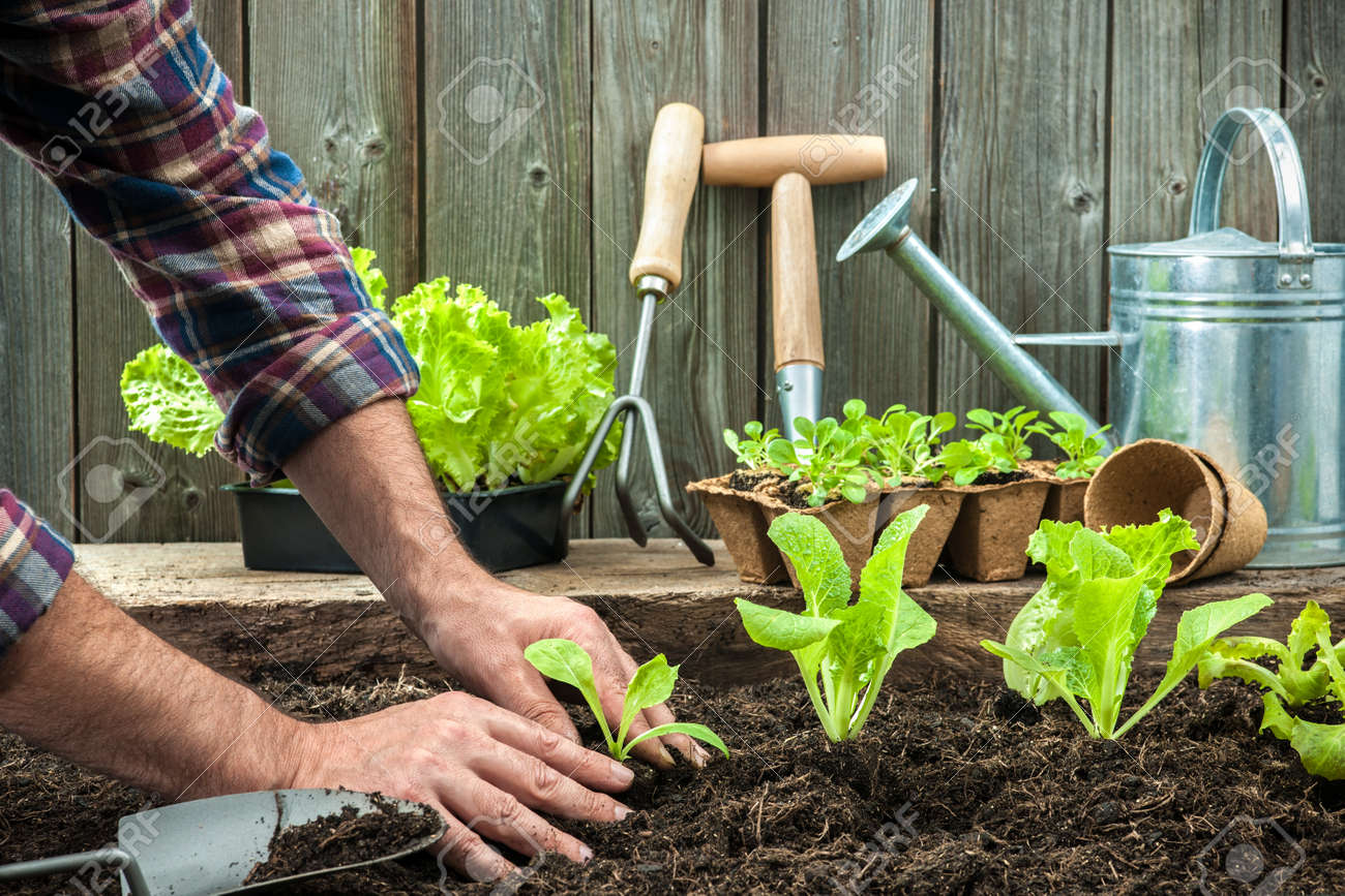 Farmer Planting Young Seedlings Of Lettuce Salad In The Vegetable Garden Stock Photo 34381018