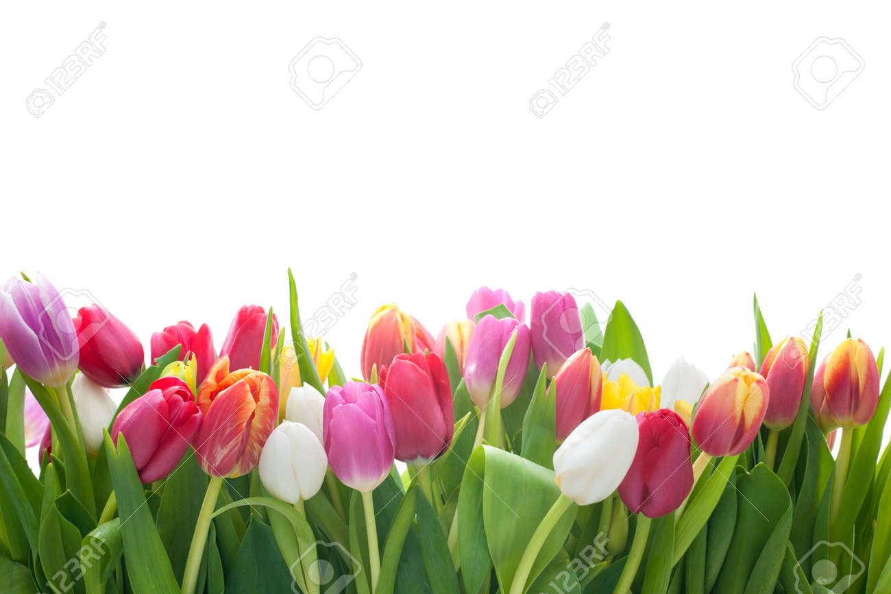 Tulips images stock pictures royalty free tulips photos and tulips spring tulips flowers on the white background dhlflorist Image collections