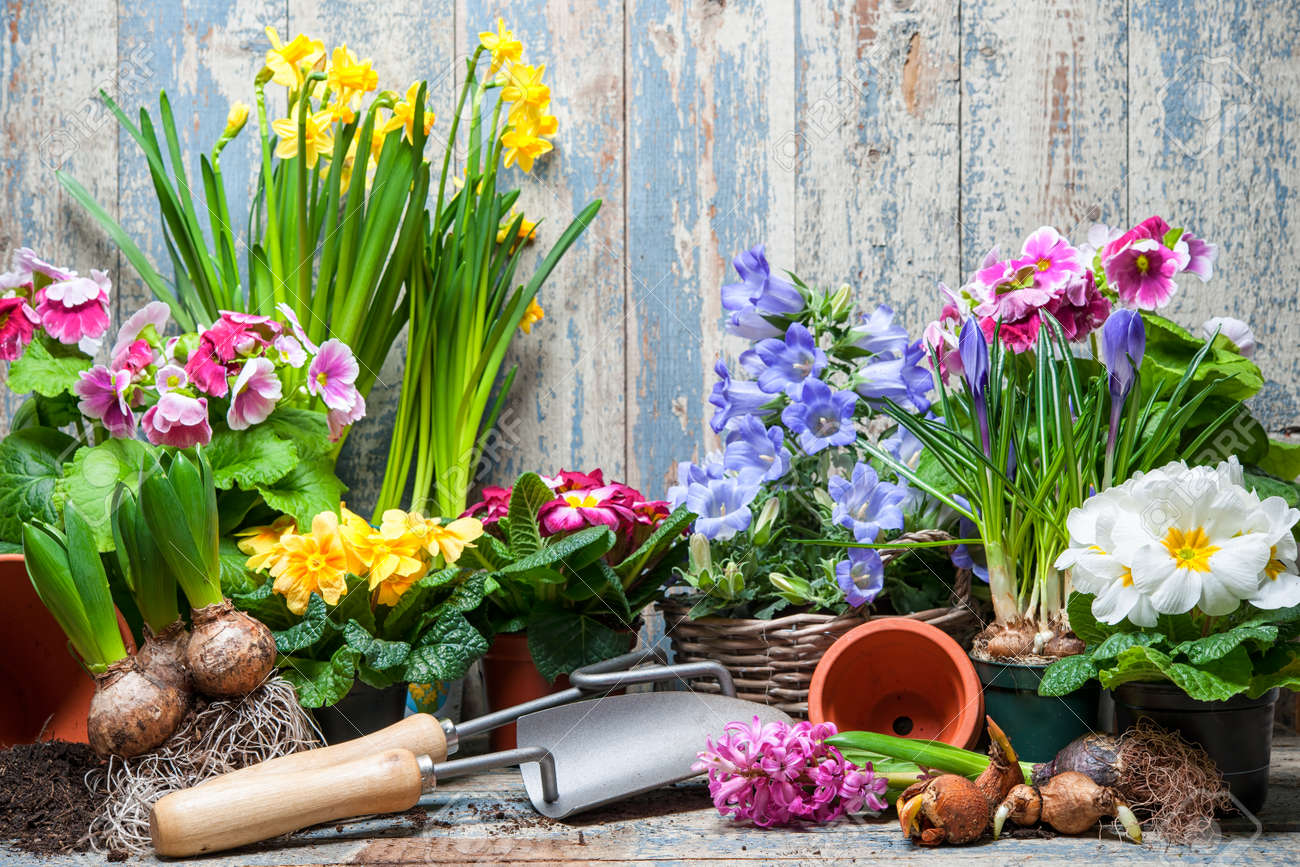 Gardener Planting Spring Flower Stock Photo Picture And Royalty