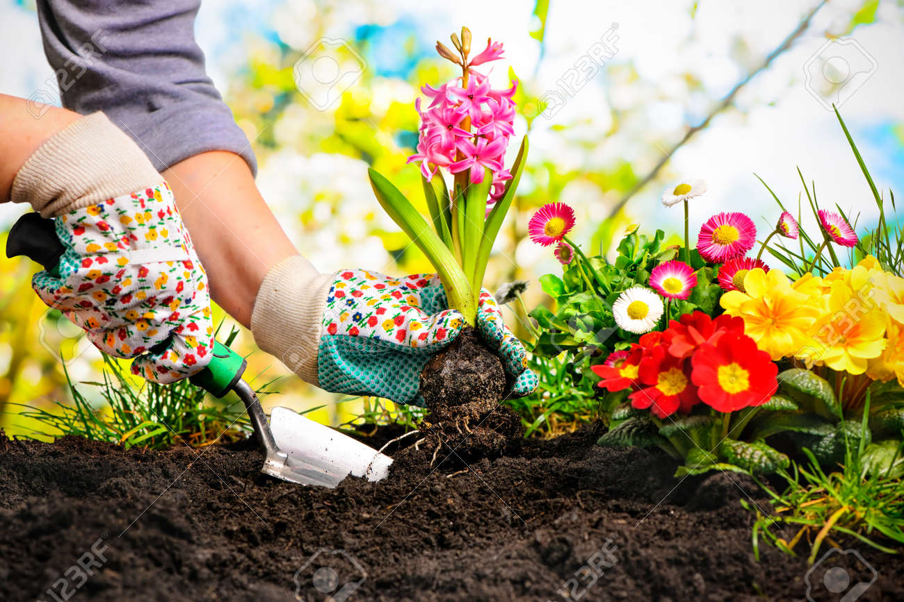 Gardeners Hands Planting Flowers At Back Yard Stock Photo   52913974