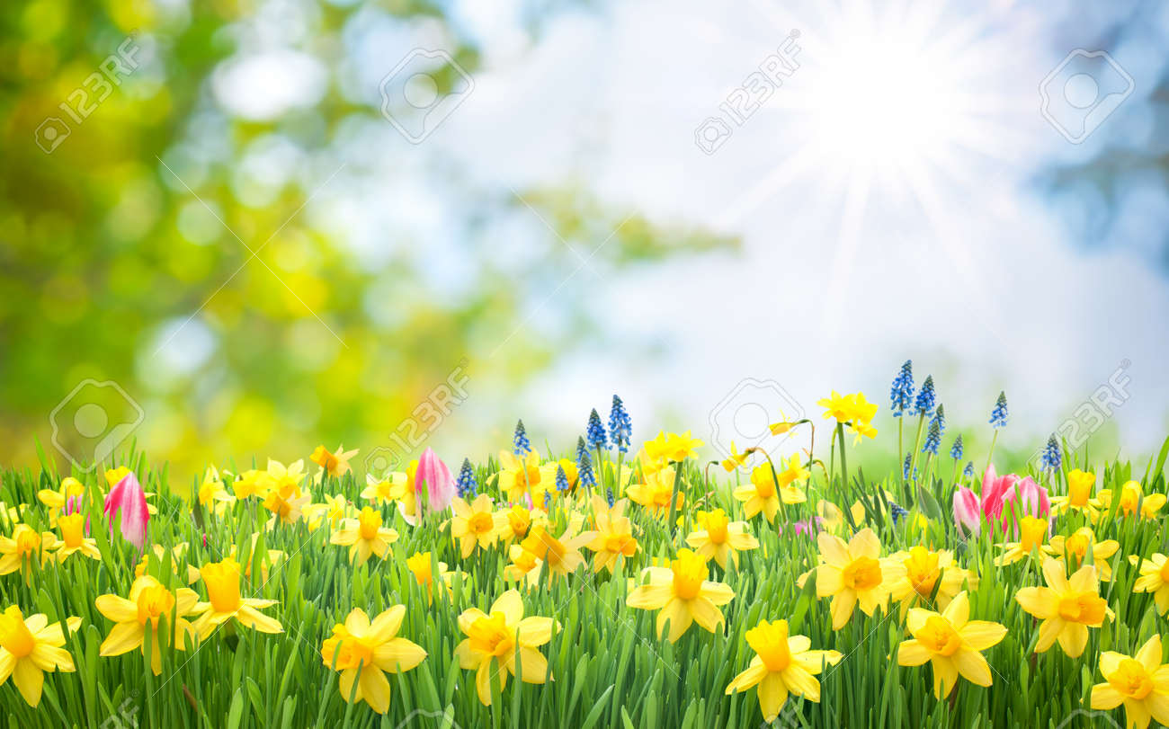 Spring Easter background with beautiful yellow daffodils Stock Photo - 52913976
