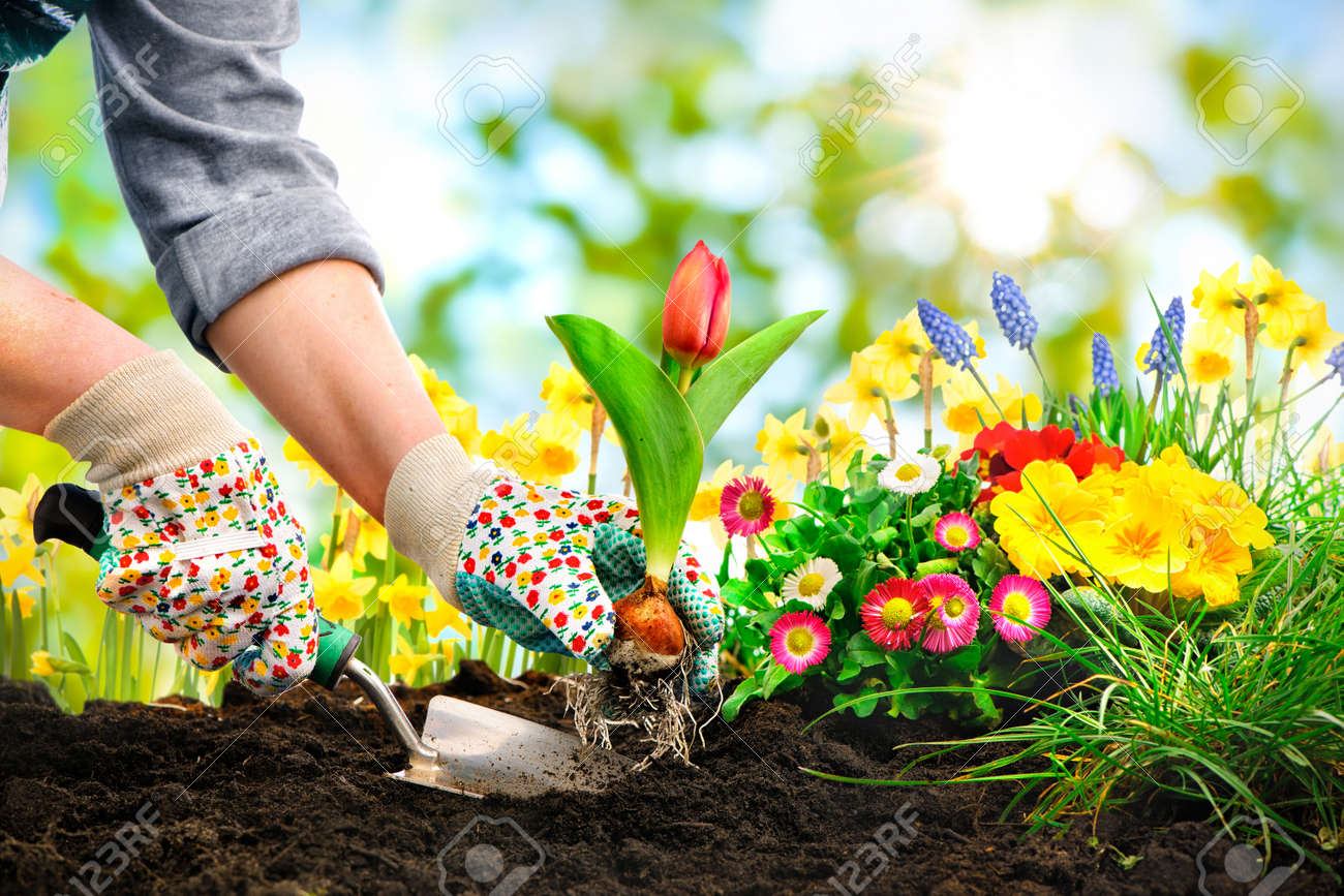 Gardeners Hands Planting Flowers At Back Yard Stock Photo   52913975