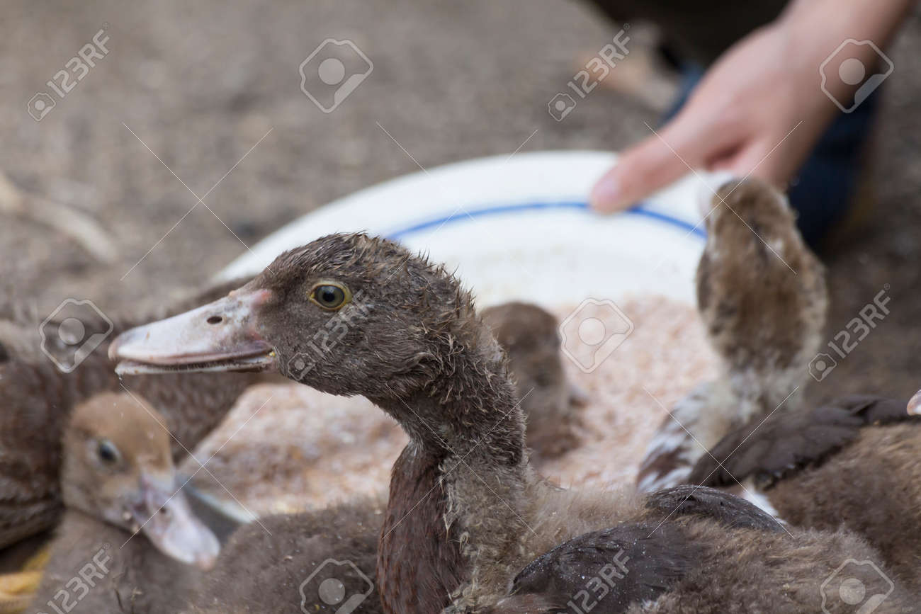 feeding backyard ducks stock photo picture and royalty free image