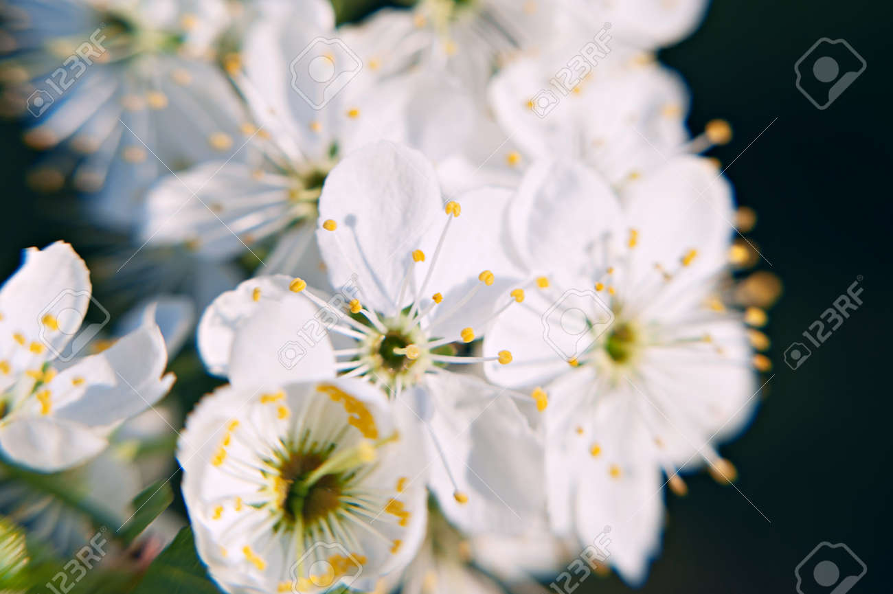 Photo Of The Flowering Crabapple Tree With White Flowers On The