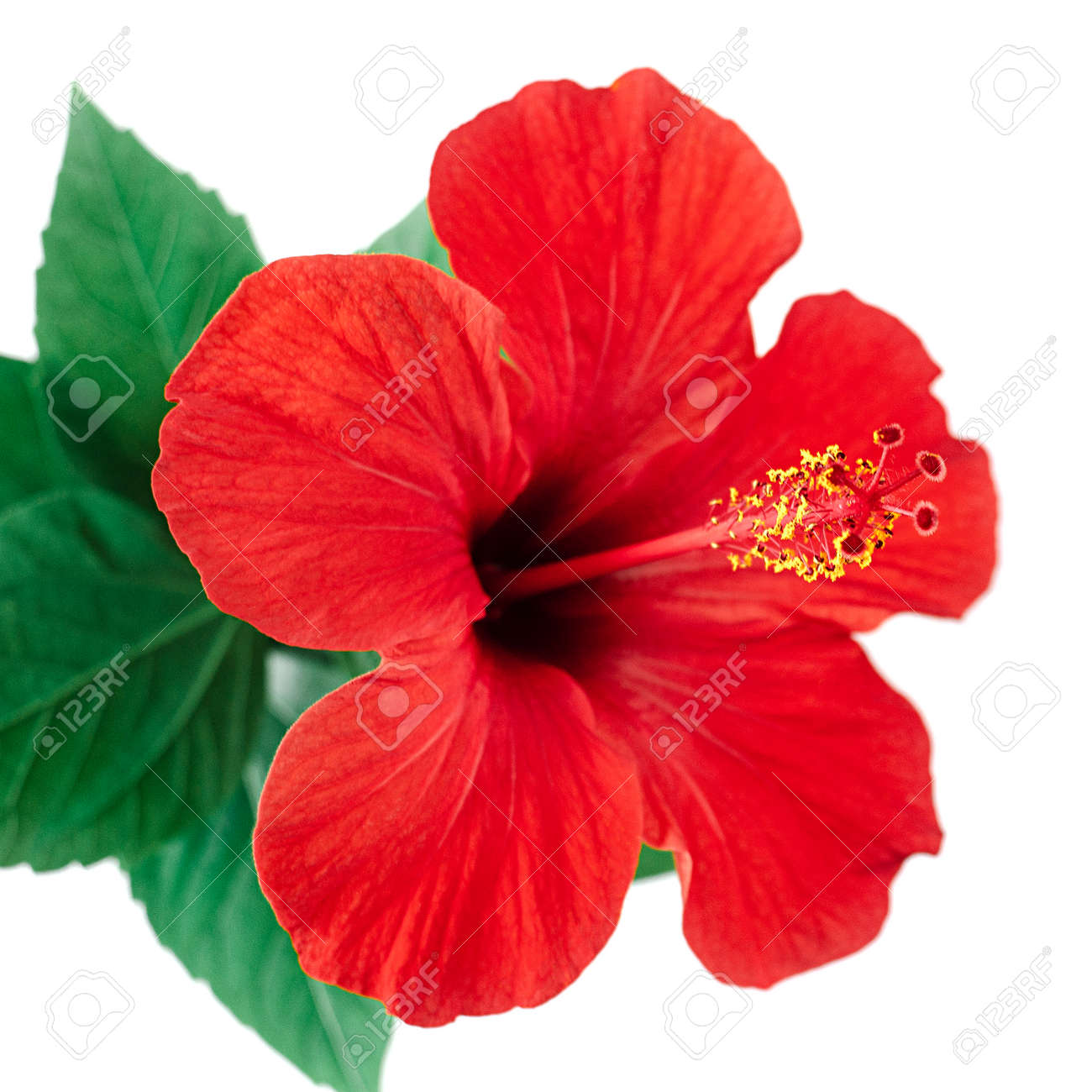 Red Hibiscus Flower Isolated On White Background With Clipping Stock Photo Picture And Royalty Free Image Image 120600053