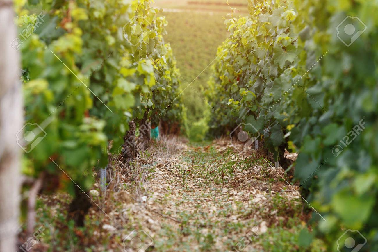 Champ De Vigne les raisins poussent en rangées sur le champ de vigne. culture du