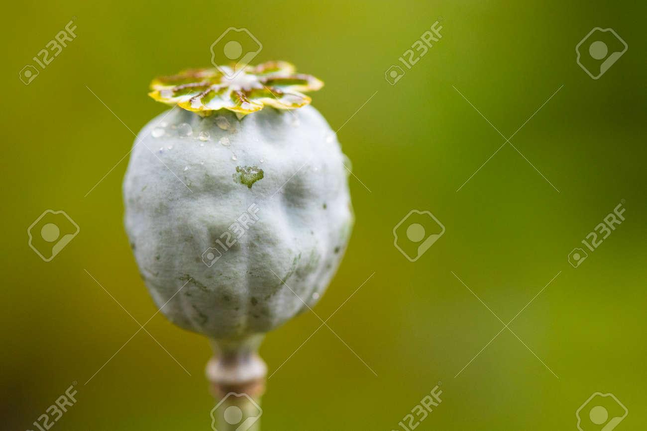 The Opium Poppy Papaver Somniferum Poppy Flower Stock Photo