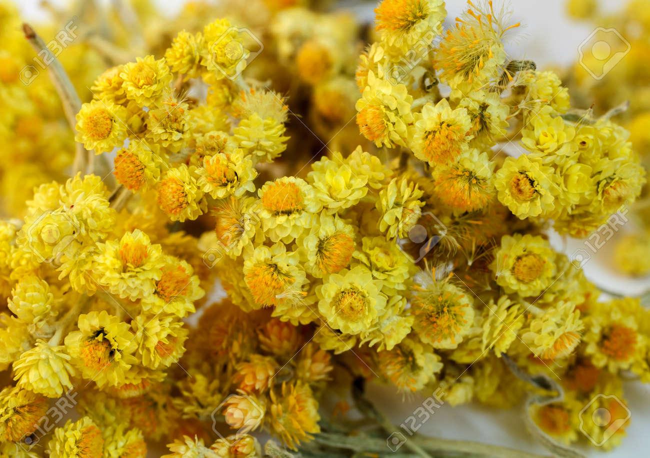 Les Fleurs Sechees De Helichrysum Arenarium Gros Plan Une Infusion