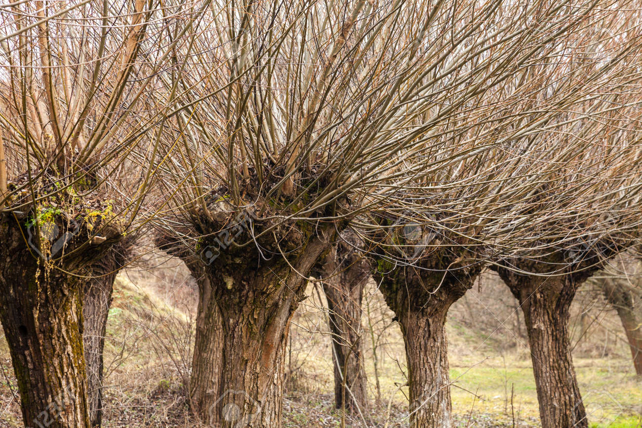 Willow Branches And Rods Of This Tree Are Used In Weaving Stock Photo Picture And Royalty Free Image Image 116672996