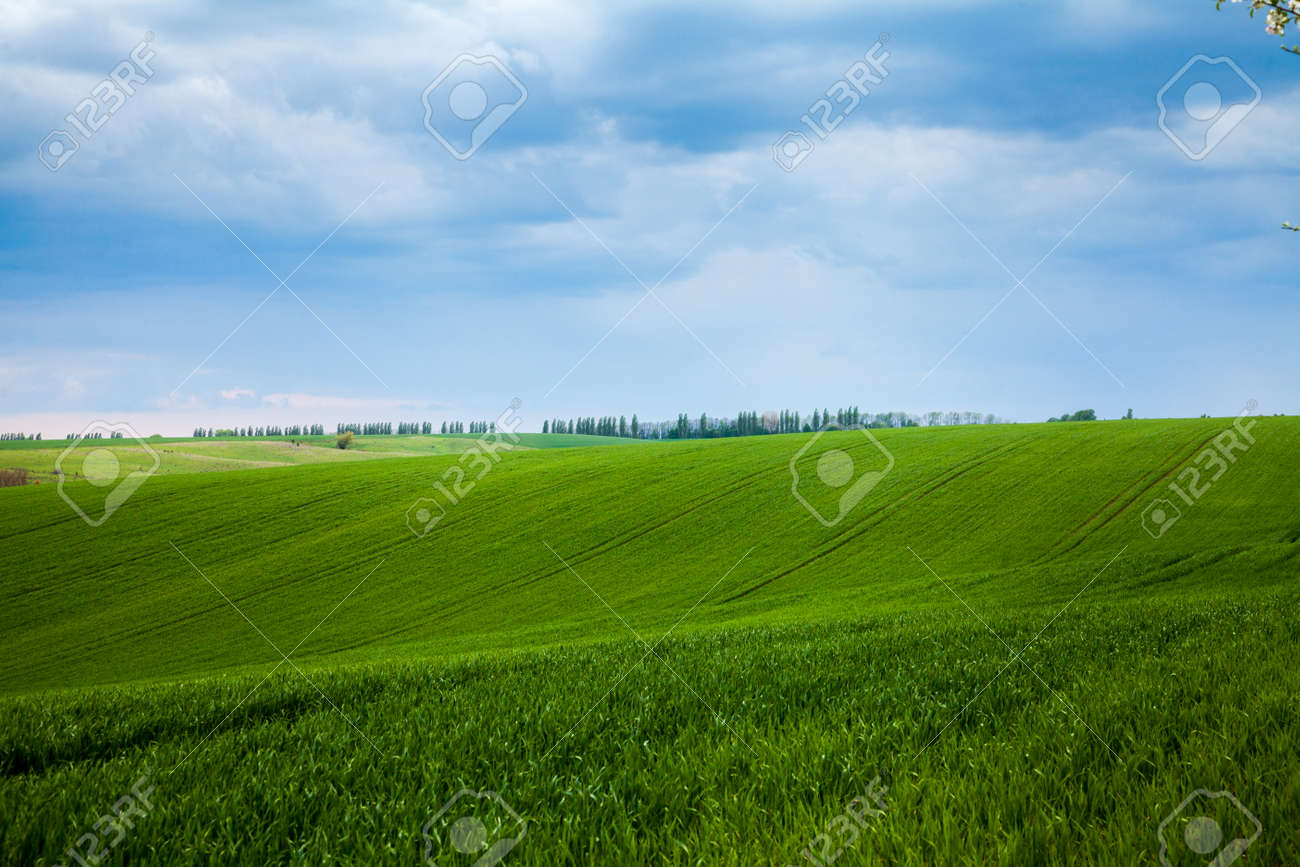 A field with fresh green shoots agricultures - 122762851