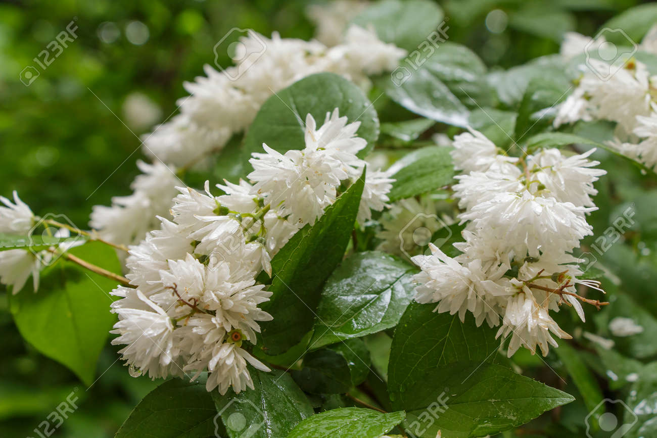Flowering Shrub With White Flowers Close Up In Rainy Weather Stock