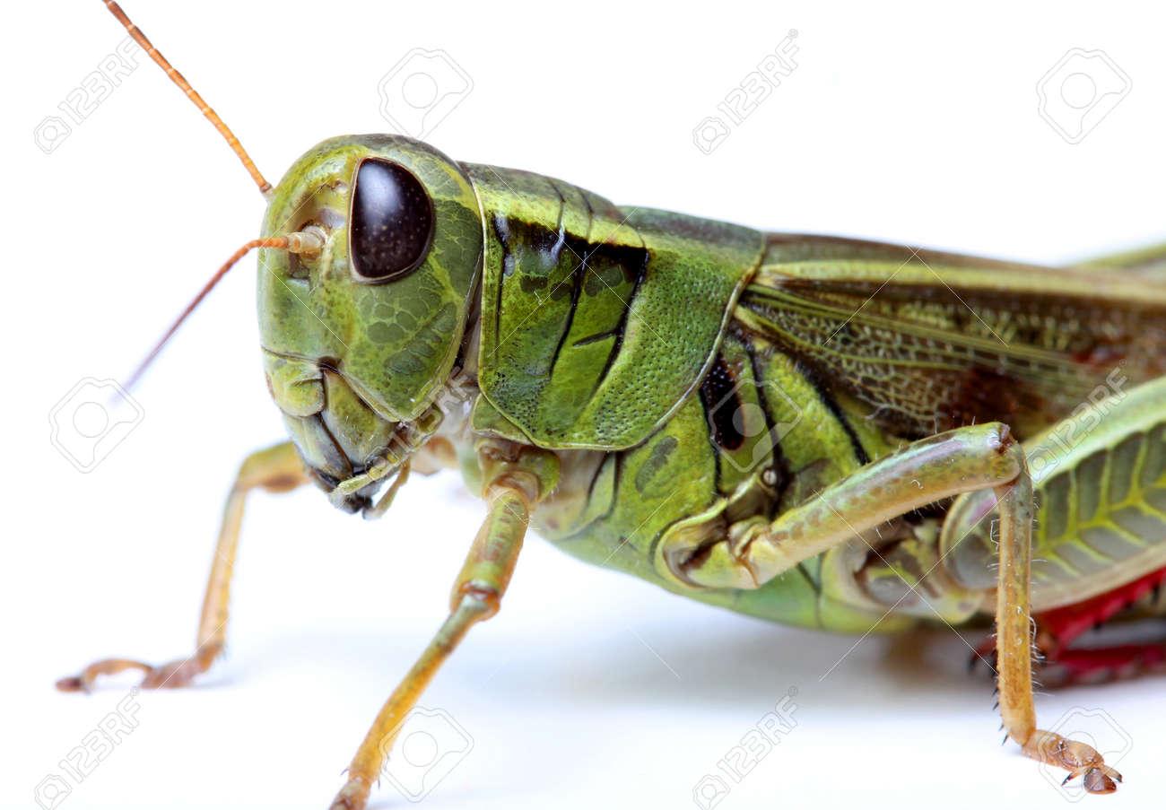 Grasshopper Stock Photos. Royalty Free Grasshopper Images
